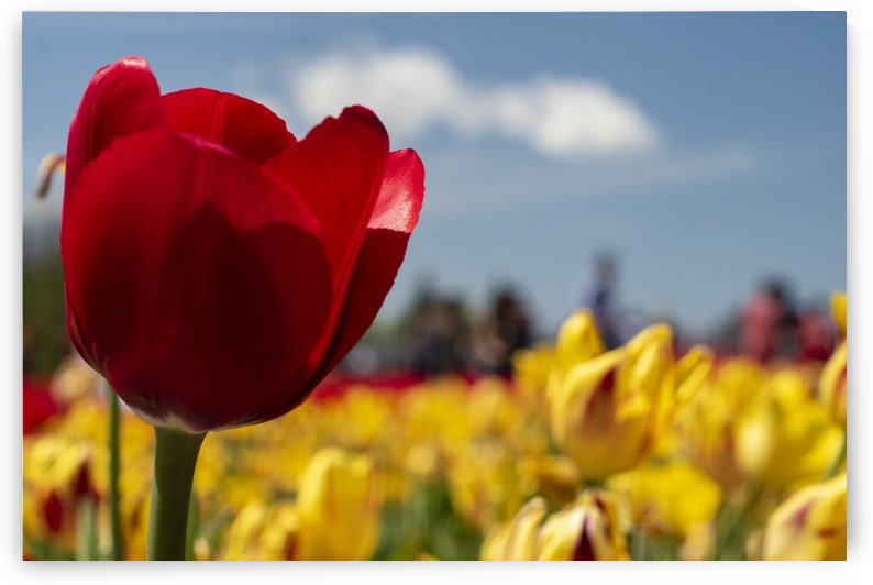 Red and Yellow Tulips by Mr  Rivera