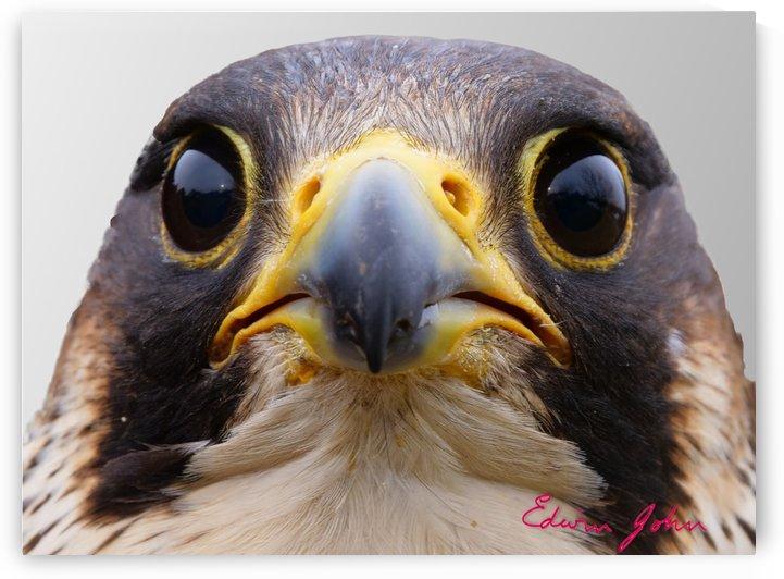 Kestrel eyes  by Edwin John