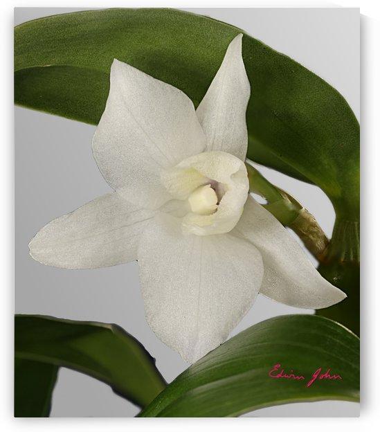 Dendrobium single white orchid flower by Edwin John