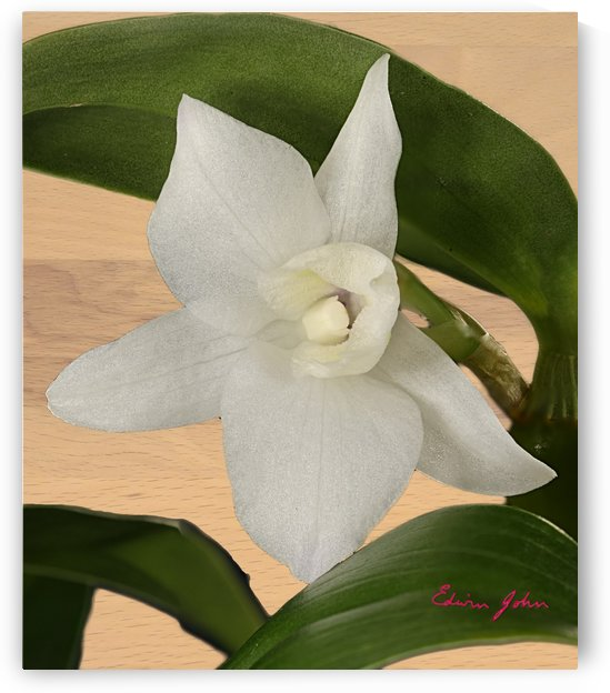 Dendrobium single white Orchid flower on beech wood background by Edwin John