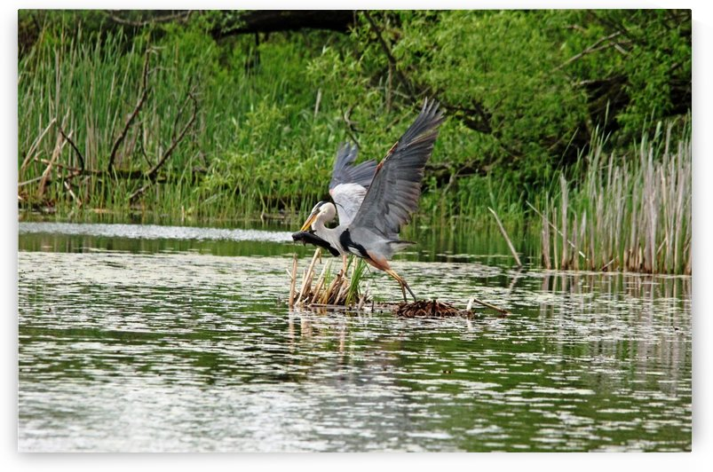 Blue Heron Catch Of The Day by Deb Oppermann