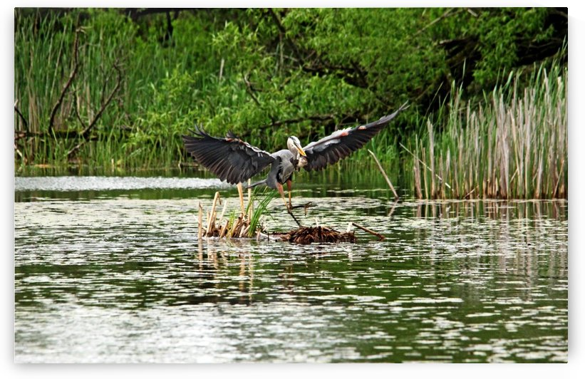 Great Blue Heron Doing The Happy Dance by Deb Oppermann