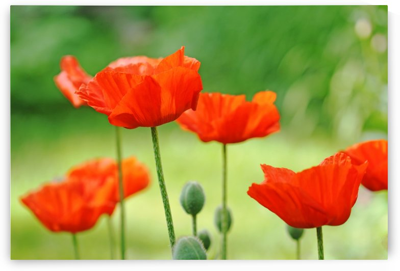 Morning Light Poppies by Deb Oppermann