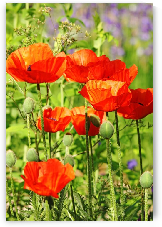 Poppy Garden I by Deb Oppermann