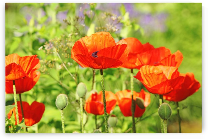 Poppy Garden by Deb Oppermann