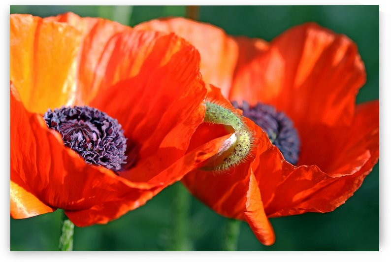 Sunlit Poppies by Deb Oppermann