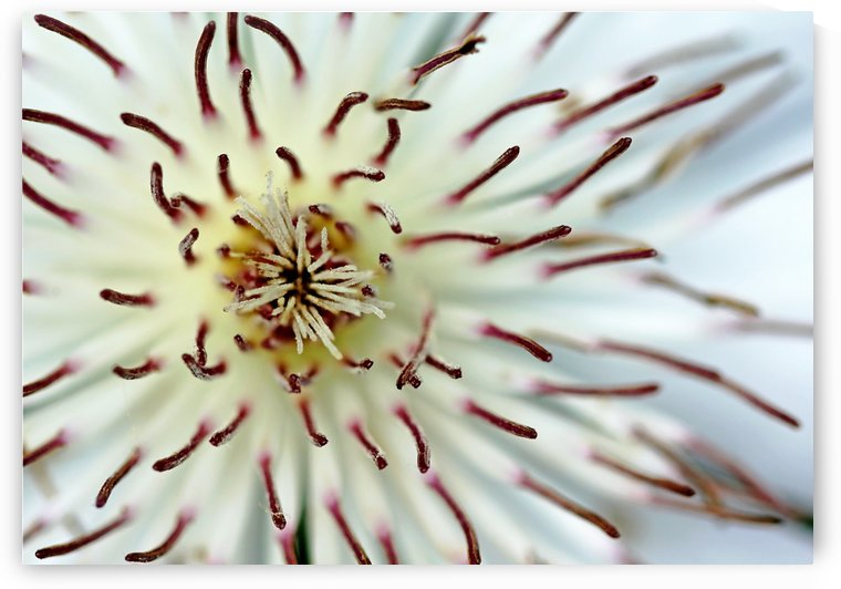 White Clematis In Abstract by Deb Oppermann