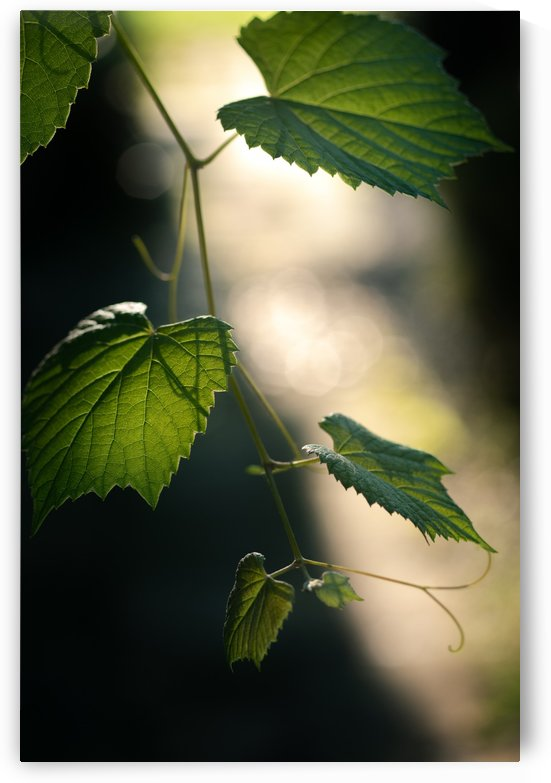 Vine leaf with light and shadow by Krit of Studio OMG