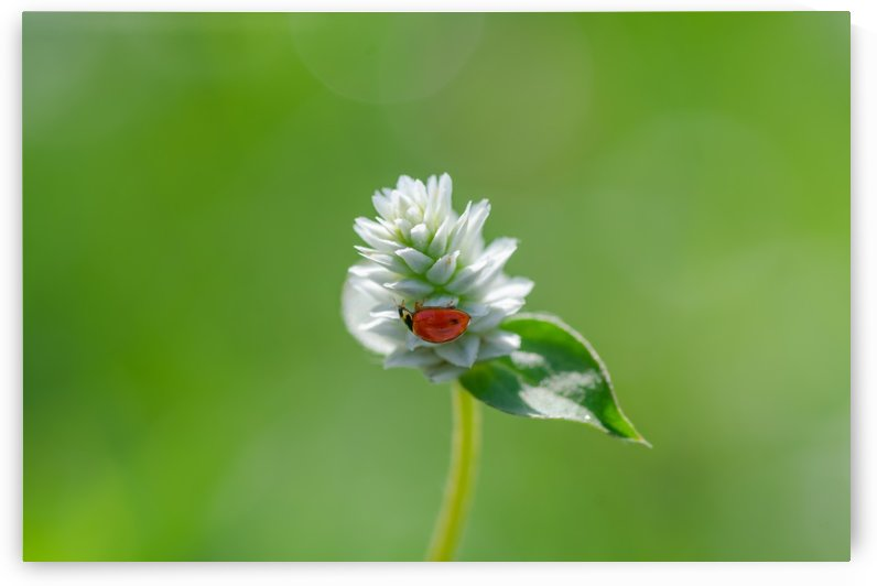 Red bug at white flower by Krit of Studio OMG