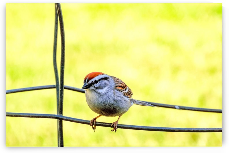 Sparrow on Wire by Leora J Busch
