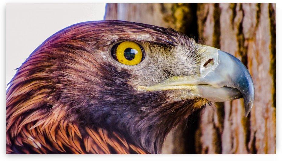 Hawk by Ljphoto