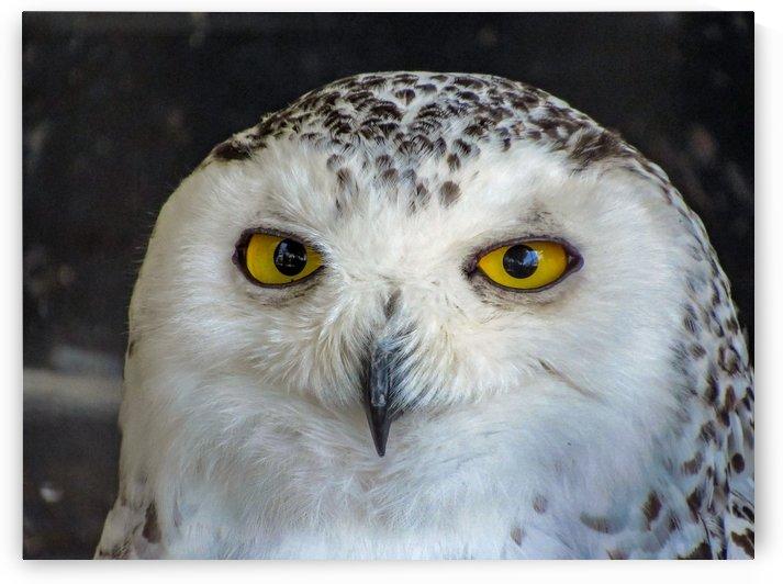 Snowy Owl by Ljphoto