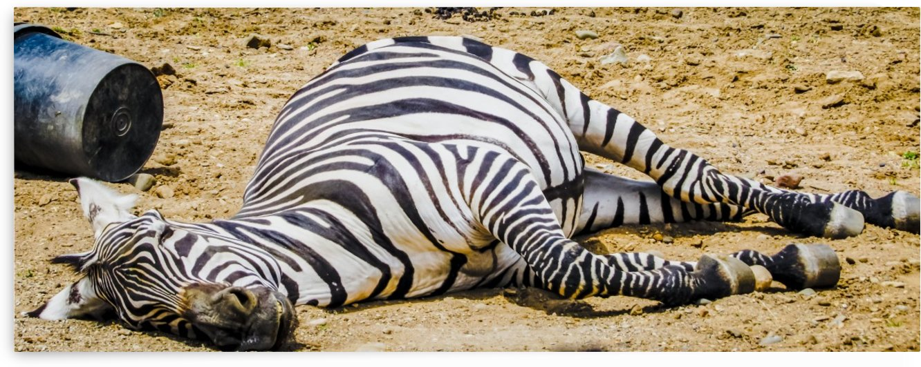 Lazy Zebra by Ljphoto