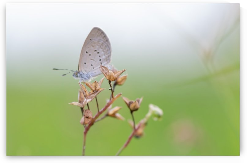 Gray butterfly perching on dried grass by Krit of Studio OMG
