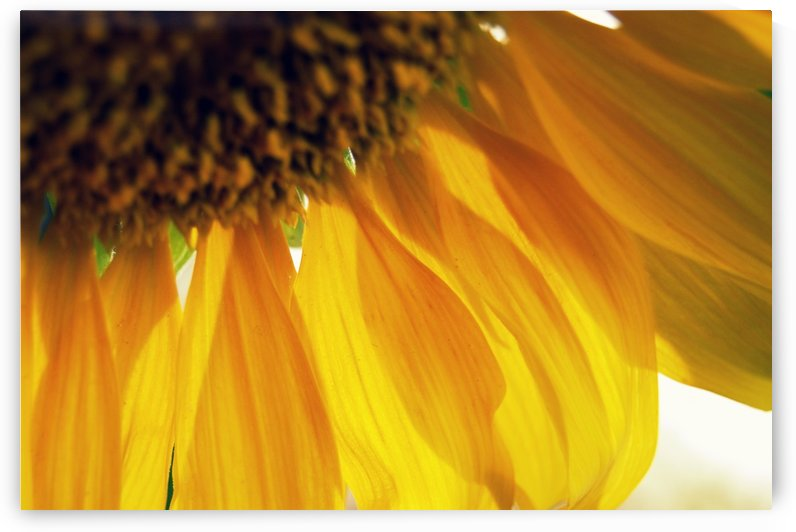 Sunflower by Tanya Photography