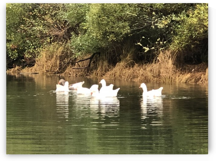 River Geese by Purplehaze_Photography
