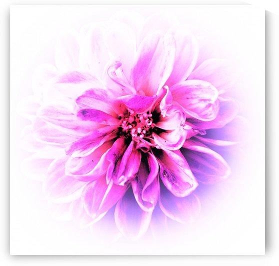 fading flower by Anu Hamburg