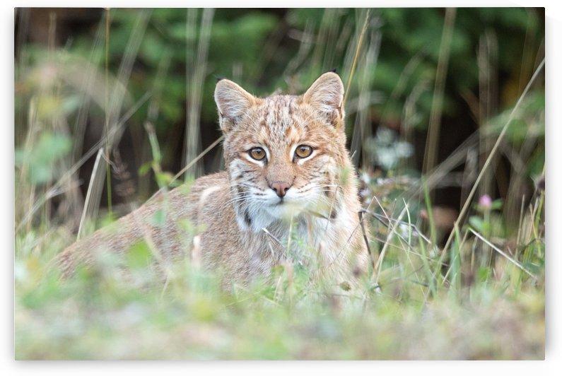 Curious Bobcat by Michel Soucy
