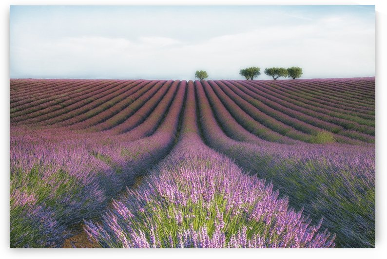 Velours de Lavender by 1x