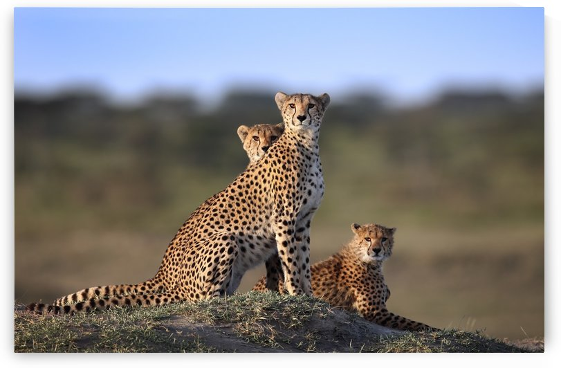 Cheetahs Family by 1x