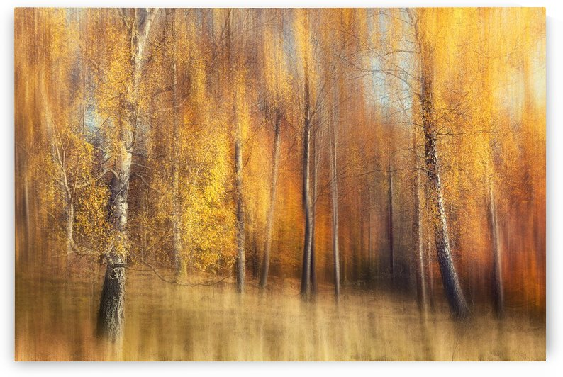 Autumn Birches by 1x