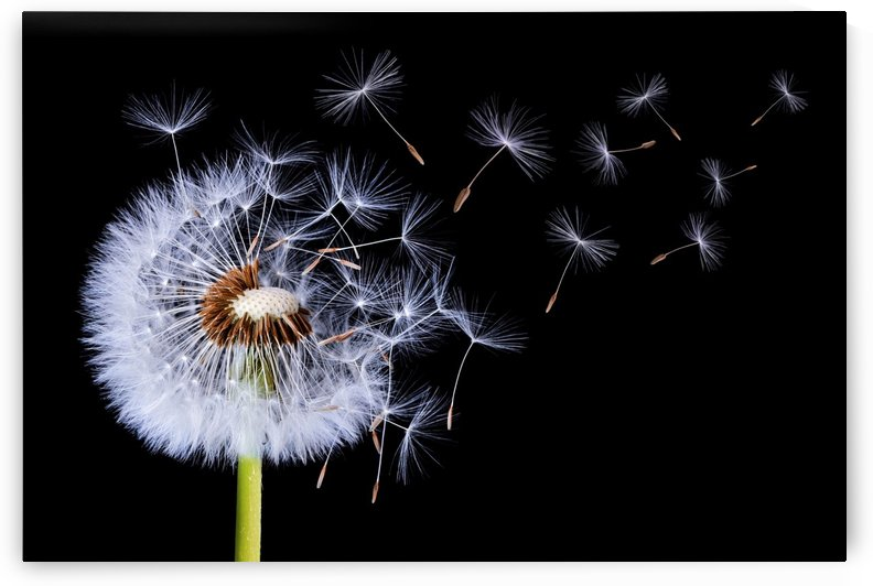 Dandelion Blowing by 1x
