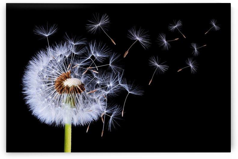 Dandelion Blowing by 1x