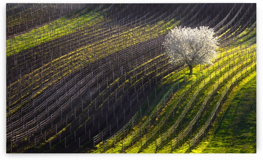 Strings of spring by 1x