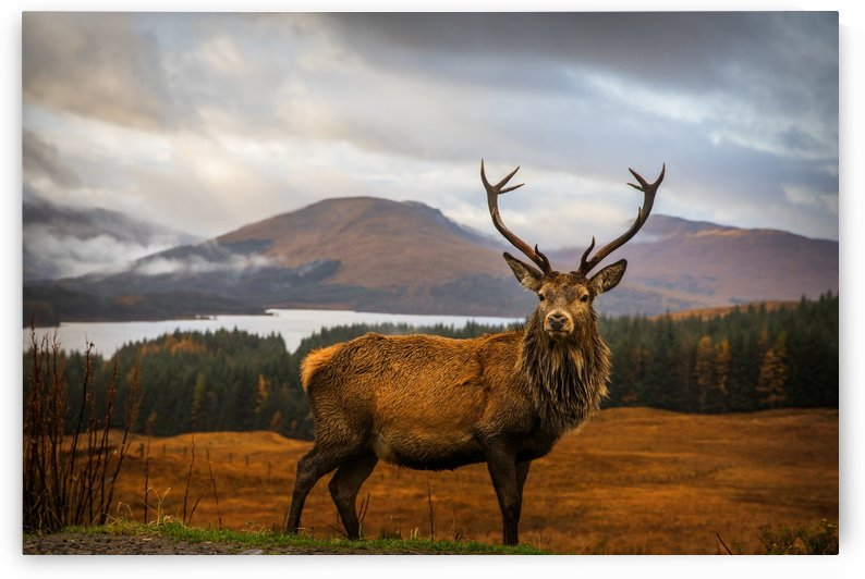 Scottish Stag by 1x