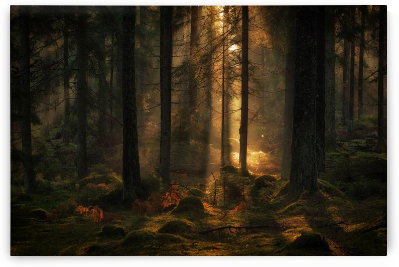 The light in the forest by 1x