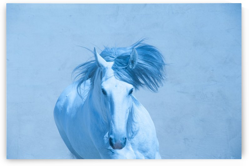 Blue Andalusian Horse 1 by Millersreflections