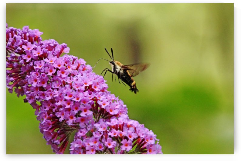 Hummingbird Moth Sipping Nectar by Deb Oppermann