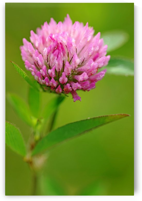 Red Clover by Deb Oppermann