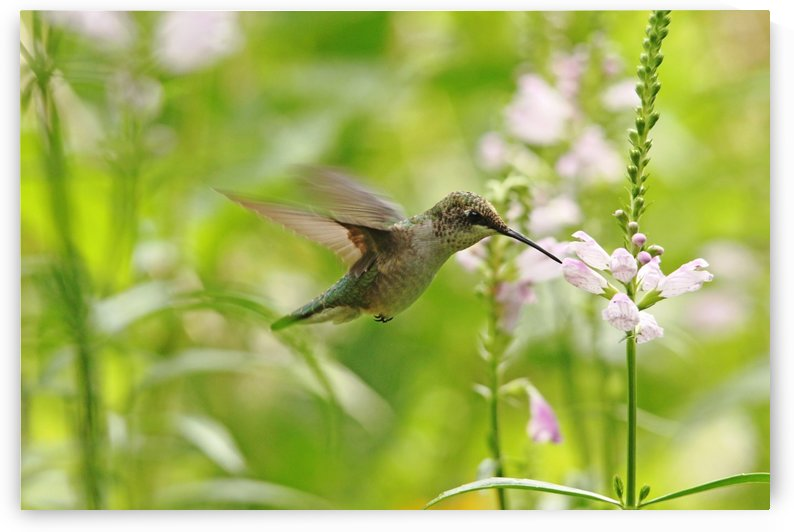 Hummer And Obedient Plant by Deb Oppermann