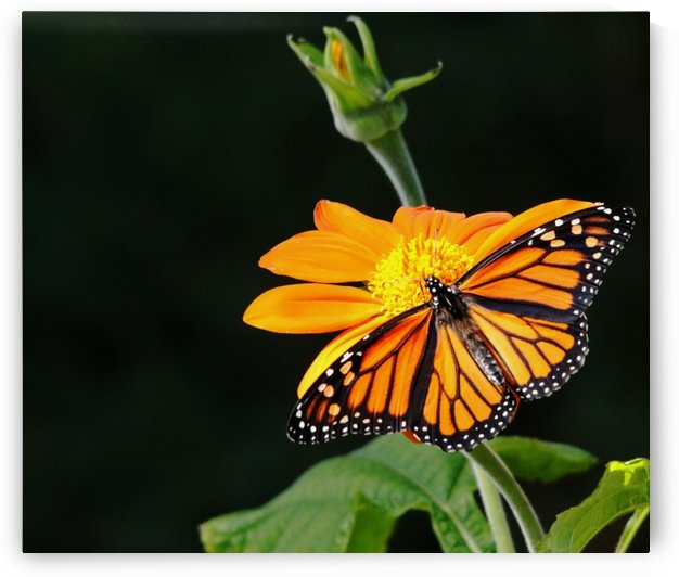 Monarch Butterfly  On Mexican Sunflower by Deb Oppermann