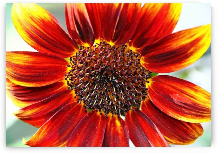 Autumn Sunflower by Deb Oppermann
