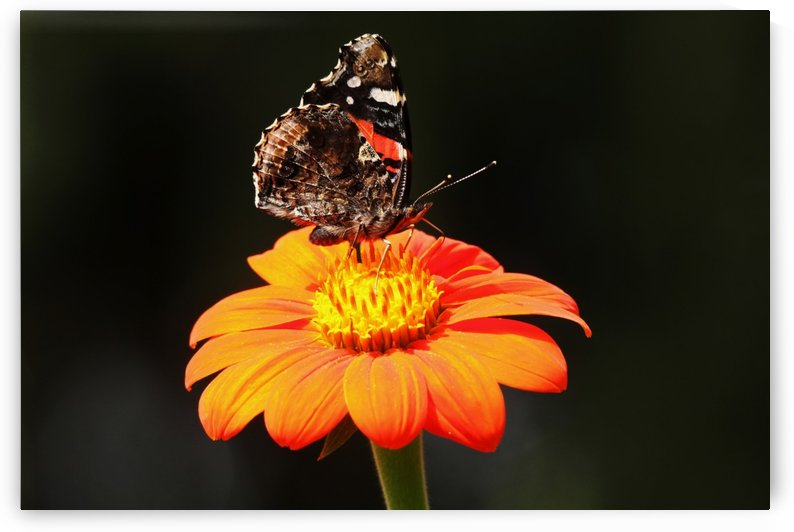 Autumn Red Admiral by Deb Oppermann