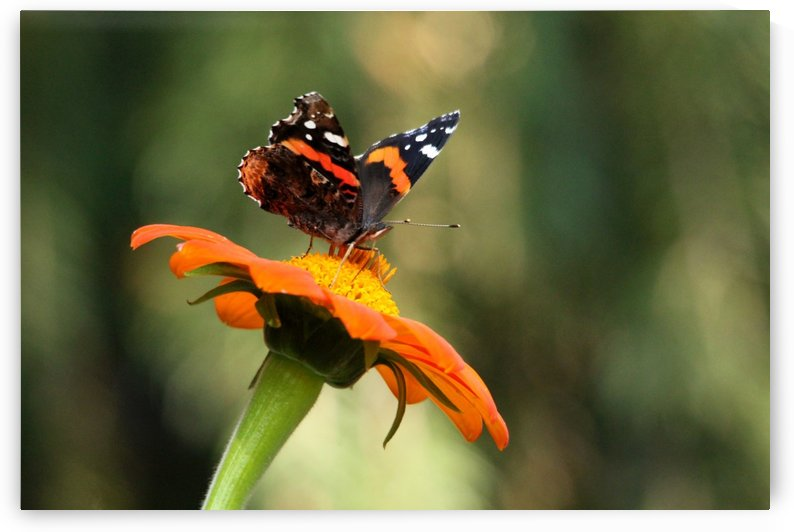 Mexican Sunflower With Red Admiral by Deb Oppermann