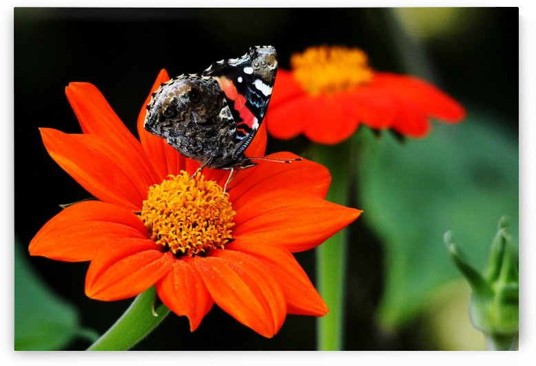 Tithonia Loving Red Admiral by Deb Oppermann