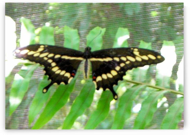 Butterfly13 by Jodi Webber