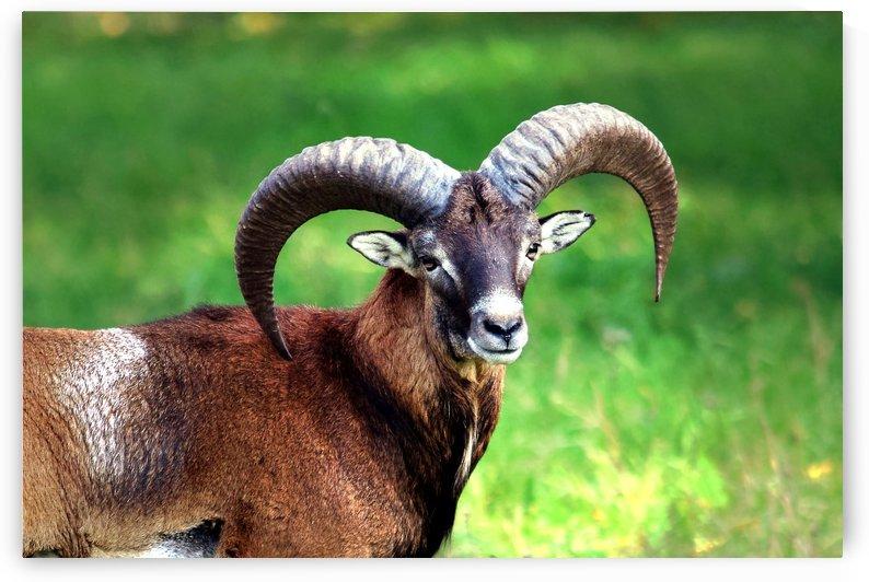 Mouflon with its Beauty by Kikkia Jackson