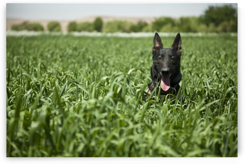 A military working dog sits in a field near a security position. by StocktrekImages