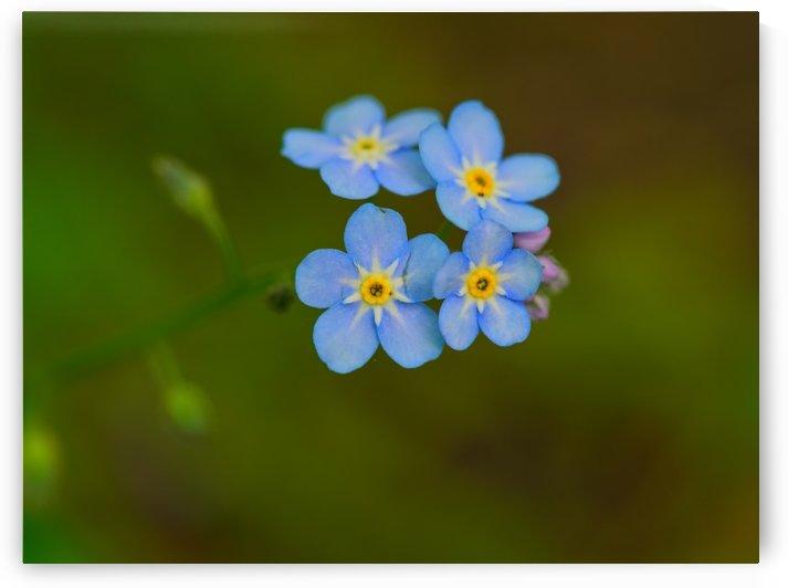 P5049685 Little blue wild flowers by CiddiBiri