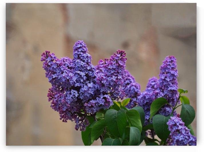 Lilac trees purple flowers by CiddiBiri
