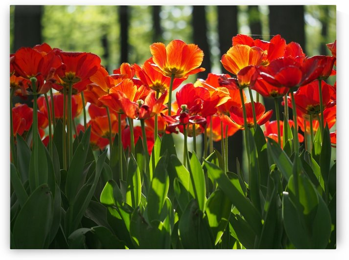 red tulips summer time in park by CiddiBiri