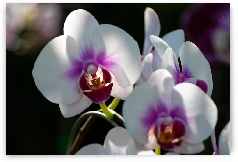 Light and shadow on white orchid blossoms by Krit of Studio OMG