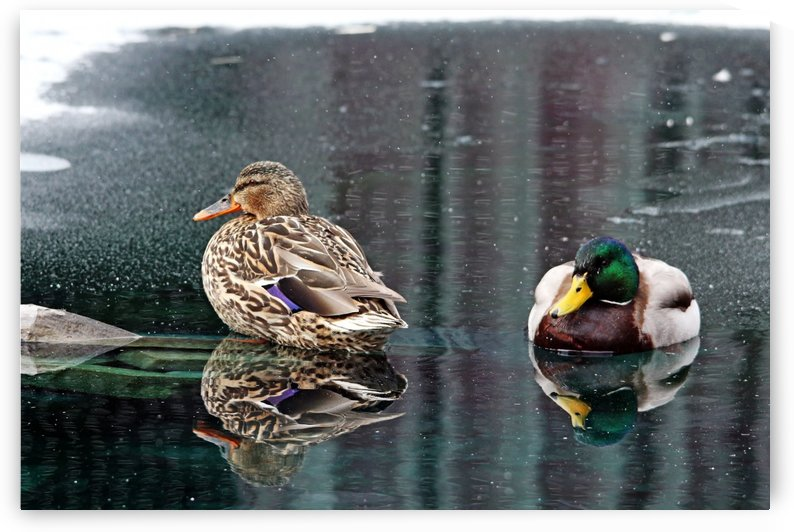 Mr And Mrs Mallard by Deb Oppermann