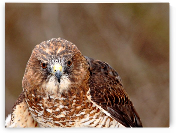 Broad   Winged Hawk Portrait by Deb Oppermann