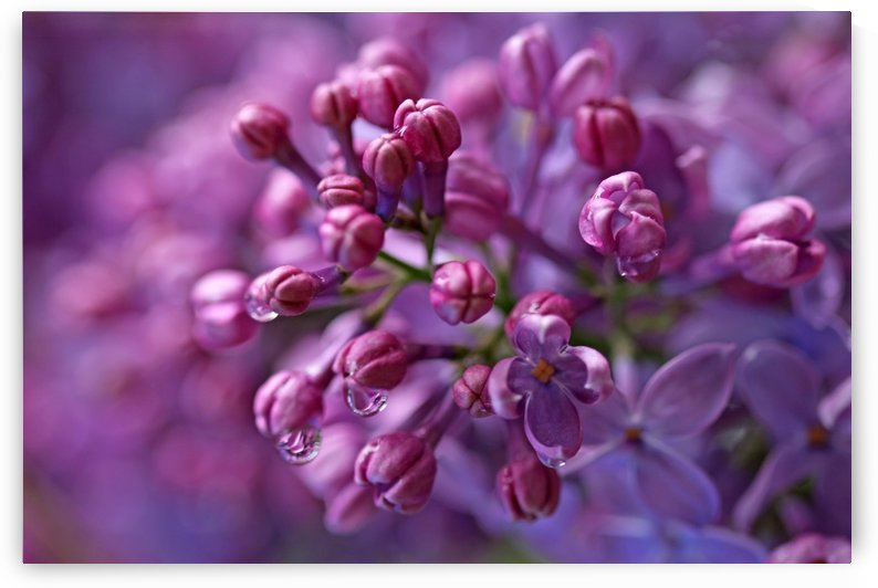 Dreamy Lilacs by Deb Oppermann