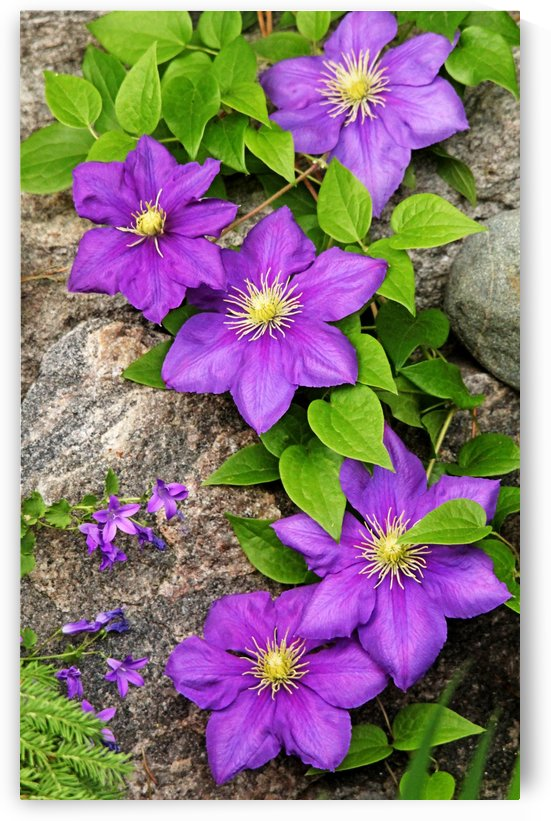 Purple Clematis On Rock by Deb Oppermann